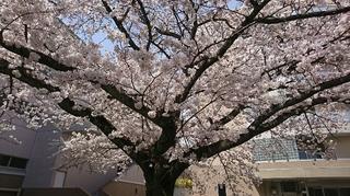 創価大学 桜2.JPG