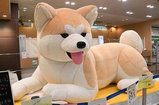 JR八王子駅に設置されている特大の秋田犬バルーン=JR東日本八王子支社提供.jpg